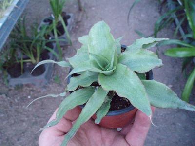 Cryptanthus acaulis 'Green' - 2