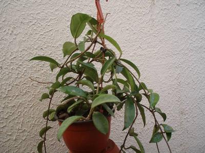 Hoya rubra (velká rostlina) - 2