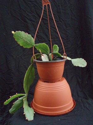 Rhipsalis pachyptera v. pachyptera - velká rostlina - 2