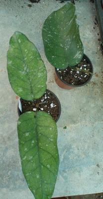 Hoya sp. Tam-Dao - 2