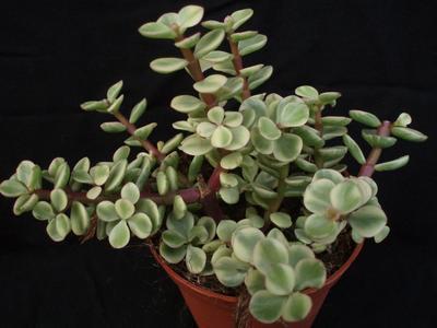 Portulacaria afra 'variegata' - 2