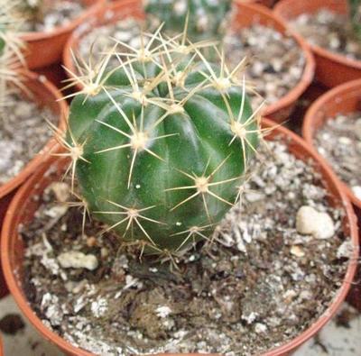 Echinopsis hybrid (3 různé typy) - 2
