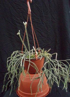 Rhipsalis pilocarpa - velká rostlina - 2