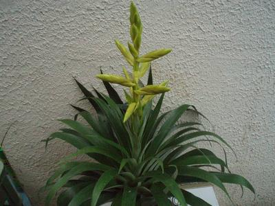 Tillandsia oerstediana - 2
