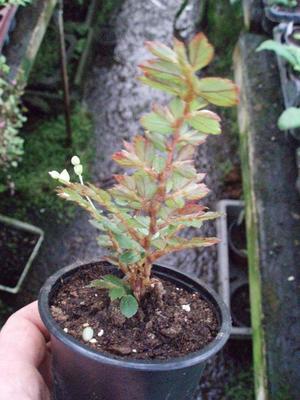 Begonia fuchsioides - 2