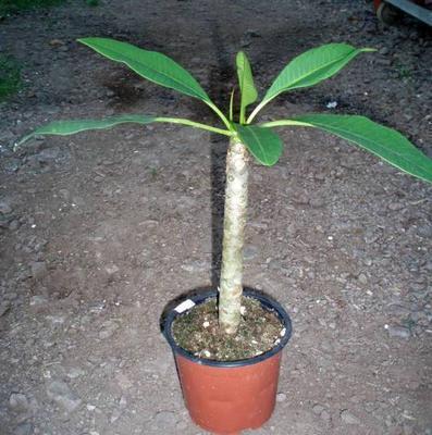 Plumeria alba - 2