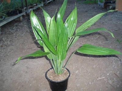 Dracaena aubryana - 2