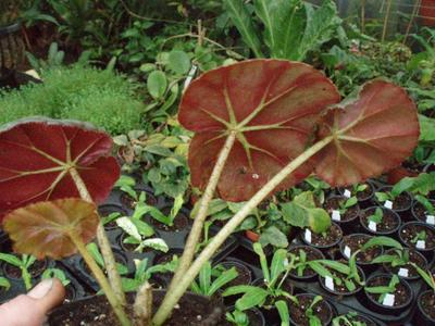 Begonia erythrostyla - 2