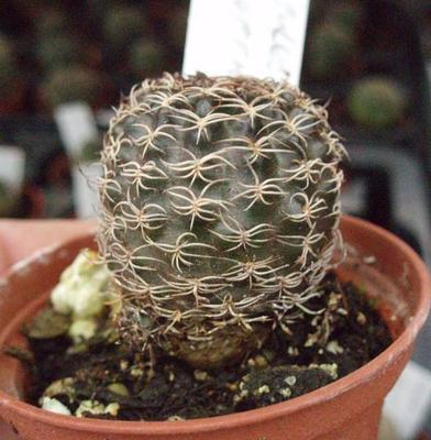 Sulcorebutia hoffmaniana - 2