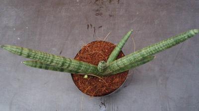 Sansevieria cylindrica 'Boncel' - 2