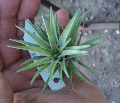 Tillandsia neglecta var. rubra - 2