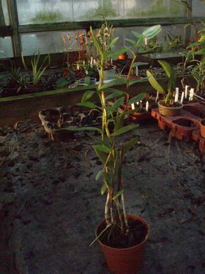 Epidendrum ibaguense - 2