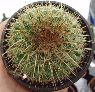 Mammillaria discolor - 2