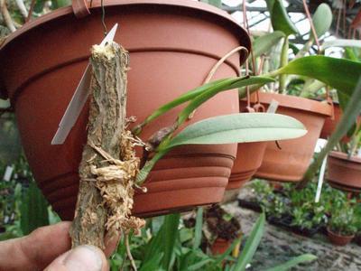 Bulbophyllum auratum (vyvázané) - 2