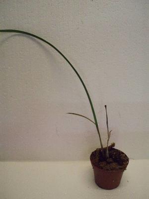 Eulophia angolensis - 2