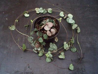 Ceropegia woodii ssp. woodii - 2