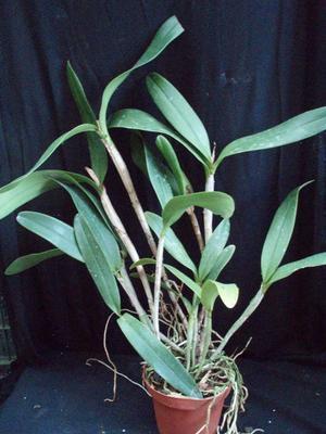 C. granulosa x C. skinneri (trs XXL) - 2
