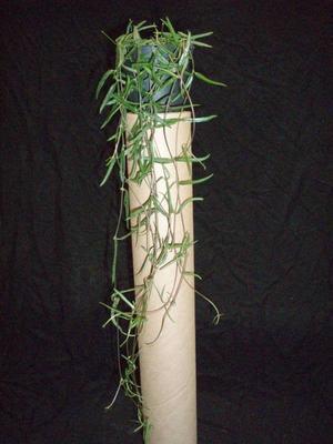 Ceropegia linearis ssp. debilis - 2