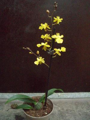 Kvetoucí orchidej mini Oncidium #2 - 2
