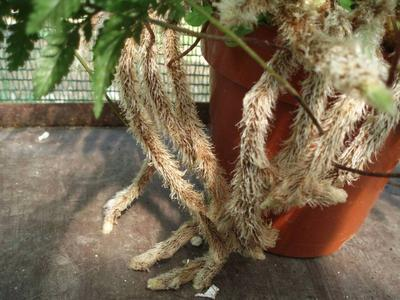 Kapradina (Humata tyermannii) - 2
