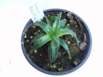 Dyckia brevifolia - 2