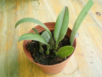 Bulbophyllum eberhardtii - 2