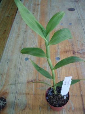 Epidendrum ilense - 2