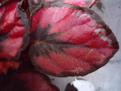 Begonia rex 'Red&Black' - 2