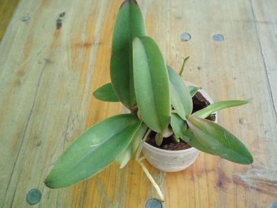 Cattleya schroederae 'Golem' - 2