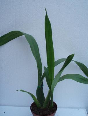 Brassia allenii - 2