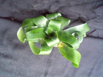 Vriesea racinae - 2