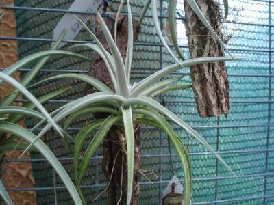 Tillandsia ixioides (velká) - 2
