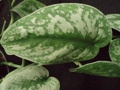 Scindapsus pictus 'Trebie' (velký) - 2