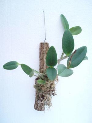 Orchidej Cattleya - květuschopná vyvázaná - 2