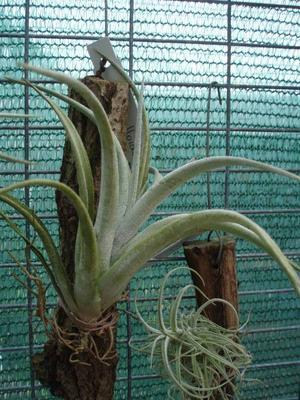 Tillandsia fresneloides - 2