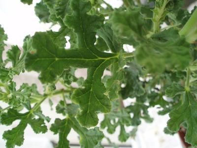 Pelargonium 'Poquita' - 2