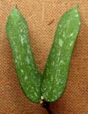 Hoya pandurata 'splash' - 2