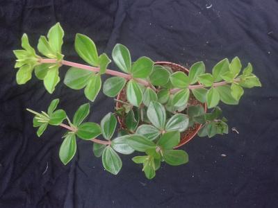 Peperomia verticilata - 2