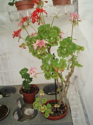 Pelargonium 'Petrei Renate' - 2