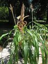 Pitcairnia macrochlamys - 2/3