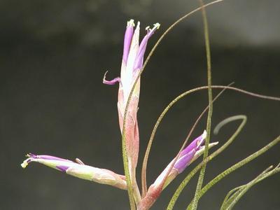 Tillandsia butzii (malá) - 2