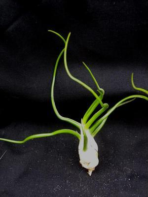 Tillandsia bulbosa - 2