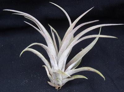 Tillandsia capitata (střední) - 2