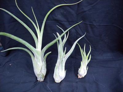 Tillandsia caput medusae (střední) - 2