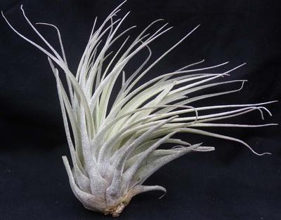 Tillandsia velickiana - 2