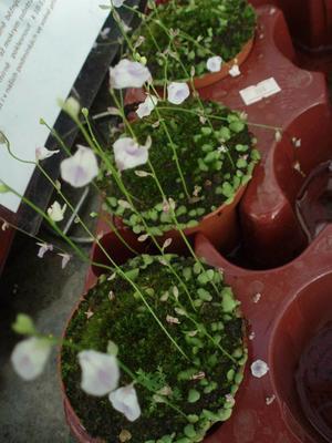 Utricularia livida (bublinatka) - 2