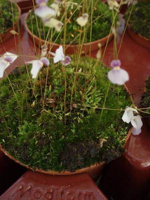 Utricularia blanchetii (bublinatka) - 2