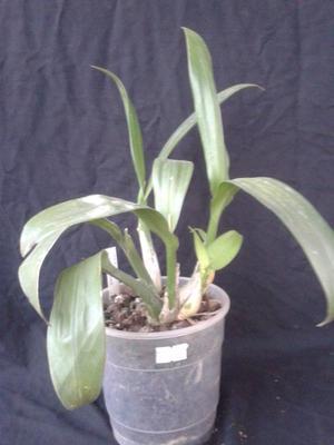 Liparis viridiflora - 3