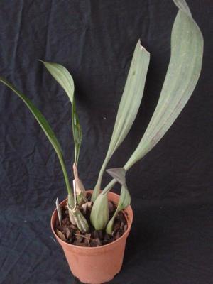 Pholidota imbricata - 3