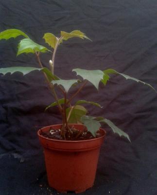 Cissus rhombifolia - 3